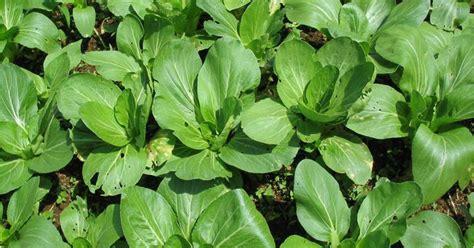 Benih Sayuran Tanam Sayuran budidaya pakchoi tanam sayuran