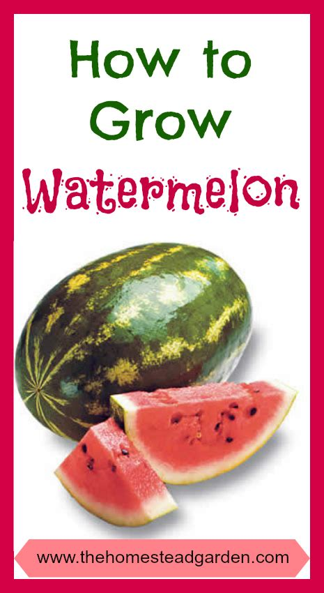 How To Plant Watermelon In A Garden by Best 25 How To Grow Watermelon Ideas On Fruit