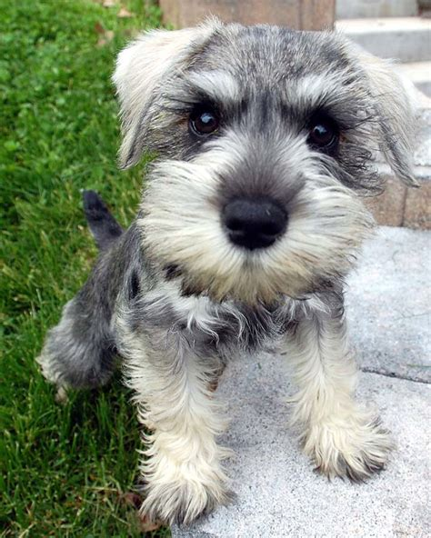 schnauzer puppy schnauzer pictures pics images and photos for inspiration