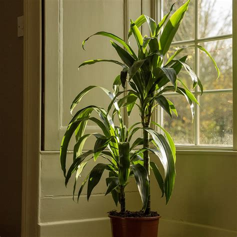 dracaena fragrans buy dragon tree dracaena fragrans janet craig 163 34 99