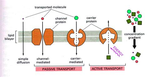 protein channel biology pore protein and carrier protein