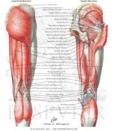 Muscles of upper leg muscles of back of hip and thigh muscles of hip