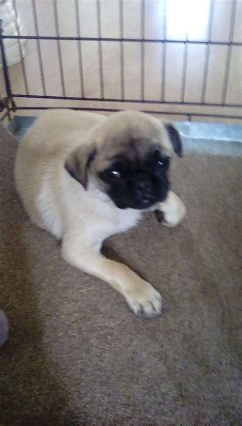 pug boy boy pug puppy for sale cheltenham gloucestershire pets4homes