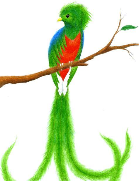 imagenes de quetzal a lapiz animales asombrosos quetzal