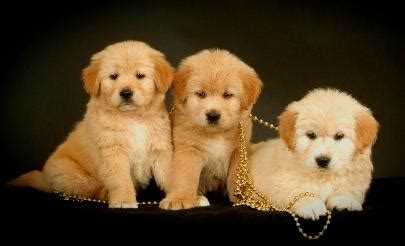 golden retriever breeders in sc golden retriever breeders sc dogs in our photo