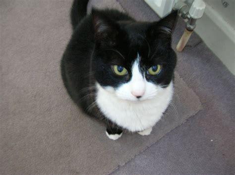 File:Tuxedo Cat   Wikimedia Commons