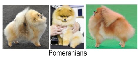 german spitz pomeranian differences between pomeranians german spitz pomeranian information and facts