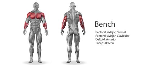 bench press works what muscles multi year weight training
