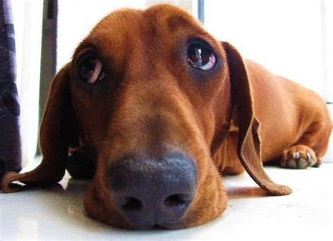 sad puppy love 17 things all dachshund owners must never forget