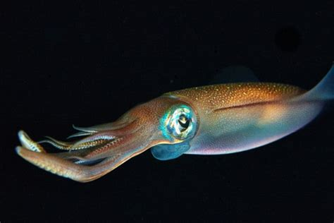 squid mail origins of the squid octopus and cuttlefish revealed daily mail online