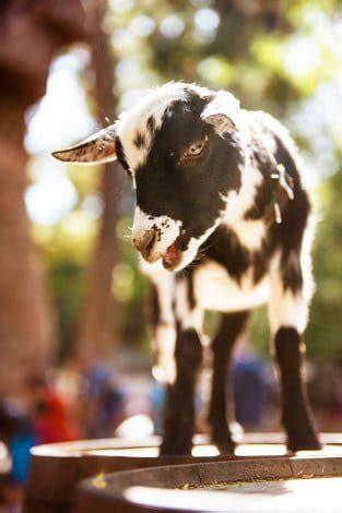 ultimate guide   goats  disneyland disney