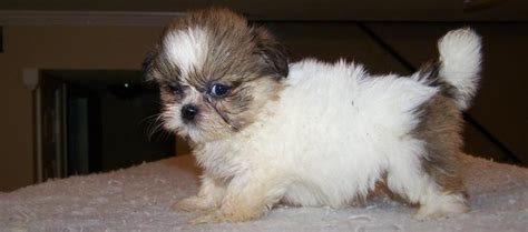teacup shih tzu puppies for sale in imperial shihtzu teacup imperial shih tzu puppies for sale