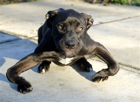 bow legged puppy this abandoned puppy had severely bowed legs but look at