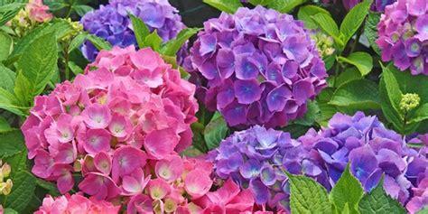ortensia in vaso cura ortensie rosa cura la finestra di stefania giardinaggio