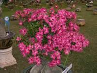 Pupuk Untuk Bunga Kamboja Jepang rumahpohon menjual adenium bunga hias biji aneka pot