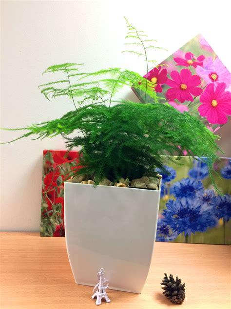 asparagus fern evergreen indoor house plant  pot air