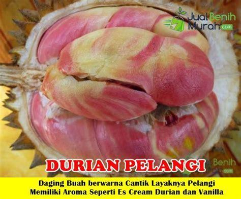Bibit Durian Pelangi bibit durian pelangi 100cm jualbenihmurah