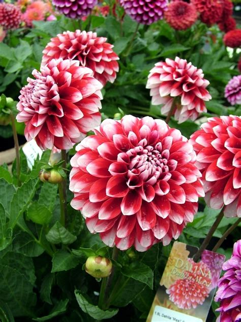 tips dahlias plant care for winter and summer flowers