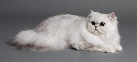 gatti persiani chinchilla gatto persiano variet 224 chinchilla il pi 249 raffinato della