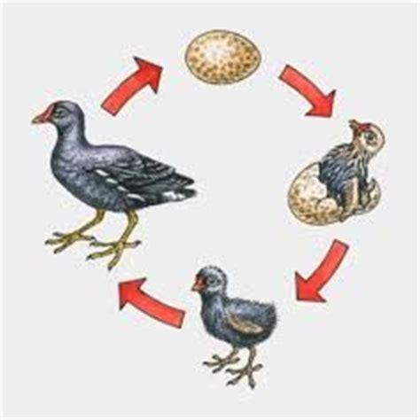 house finch life cycle r 233 sultat de recherche d images pour quot oiseau cycle de vie