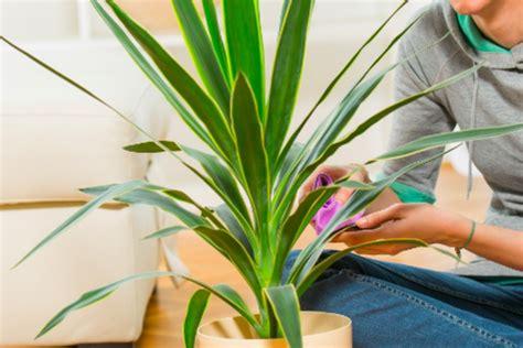 mehltau an was tun yucca palme hat mehltau oder gallmilben 187 was tun palmlilie