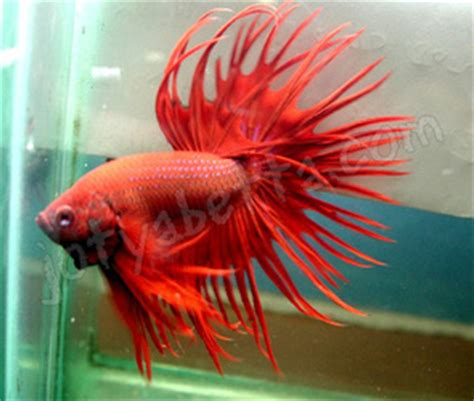 Pakan Ikan Cupang Selain Jentik Nyamuk shine betta fish home
