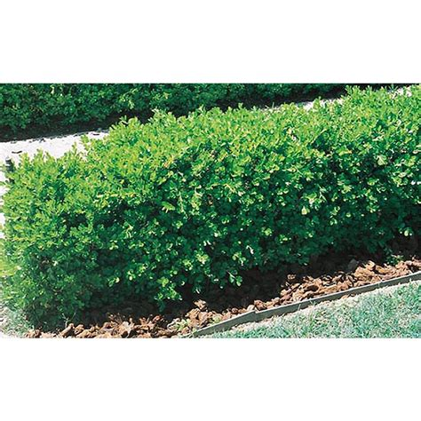 Lowe S Home Plans shop 2 5 quart japanese boxwood l5873 at lowes com