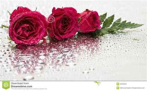 imagenes de rosas sobre agua rote rosen mit wassertropfen stockbilder bild 4643034