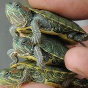 tartaruga d acqua alimentazione tartaruga d acqua tartarughe caratteristiche delle