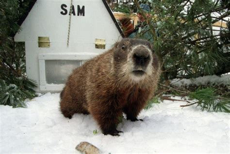 groundhog day canada two out of three groundhogs predict six more weeks of