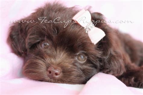 yorkie poo puppies florida 125 best yorkiepoo images on animals poodle mix and baby animals