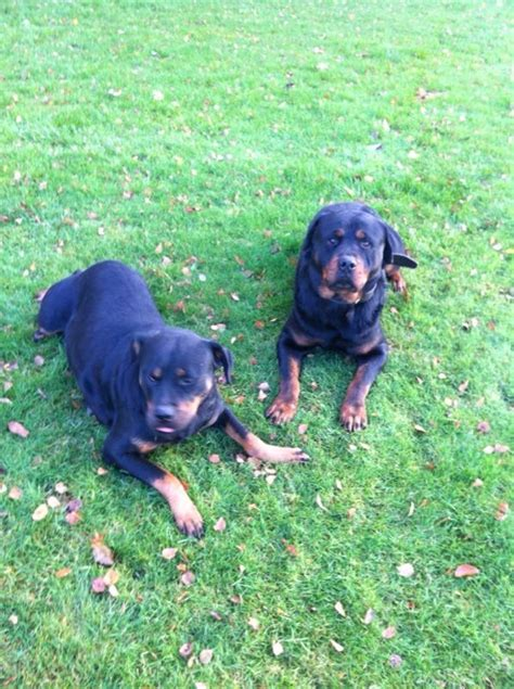 trained rottweiler sale protection trained rottweiler for sale walsall west midlands pets4homes