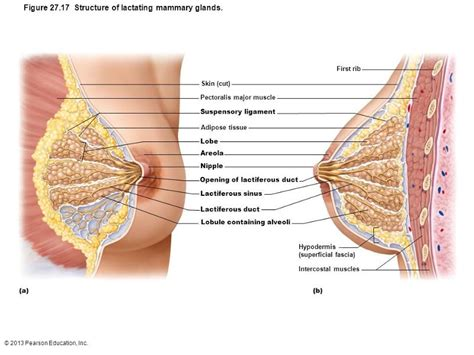 How To Detox Mammary Glands Before Conception by Reproductive System Flashcards Easy Notecards