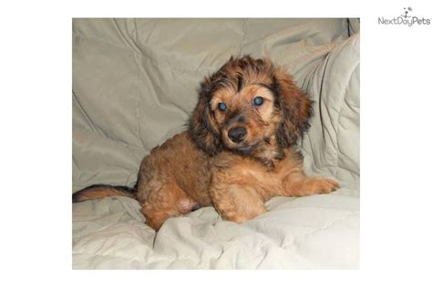 doxiepoo puppies for sale meet darwin a dachshund mini puppy for sale for 200 darwin the
