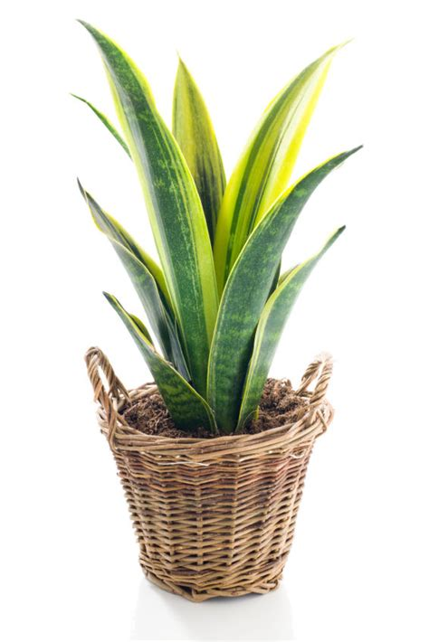 best indoor plants for oxygen guest post best oxygen producing indoor plants grower