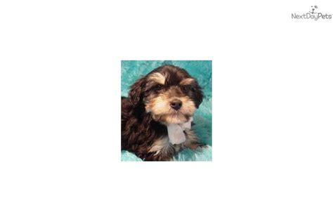 mini yorkie price meet reese a yorkiepoo yorkie poo puppy for sale for 195 reese mini yorkie