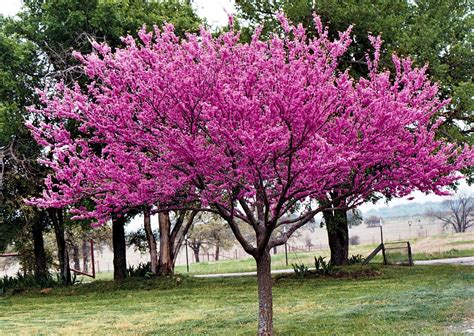 redbud tree redbud one writer s way