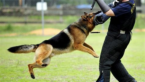 dog for house guard best house dogs for protection 28 images best guard dogs for home protection what