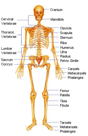 best 25 human skeleton bones ideas only on skeleton anatomy labelled pictures human bones and names human anatomy library
