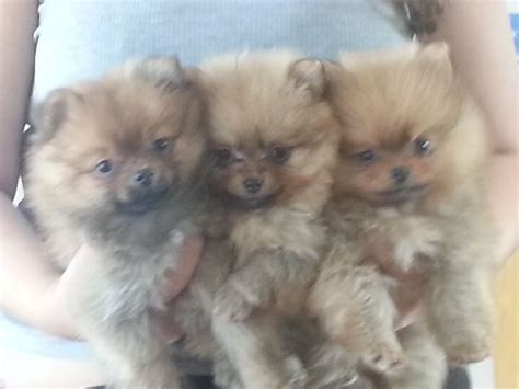 adorable pomeranians pomeranians for sale swindon wiltshire pets4homes