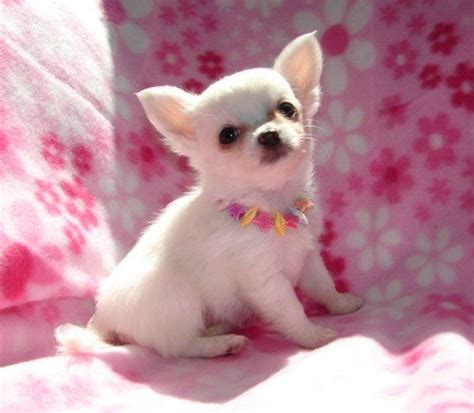 chihuahua puppies for free 25 best ideas about chihuahua puppies for sale on
