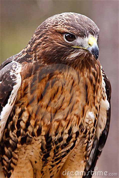 red tailed hawk  beautiful plumage stock photo image