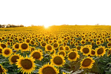 sunflower farm fields of sunshine leawood lifestyle magazine