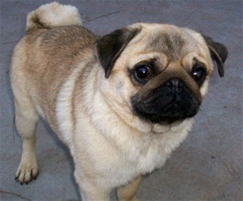 why are pugs tails curly which is your favorite type and breed of pet and why