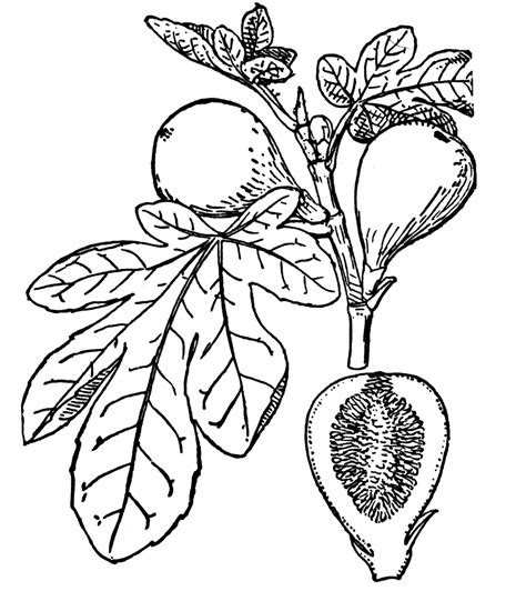 coloring page of a fig tree fig clipart etc
