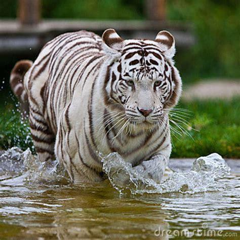 imagenes tigre blanco bengala tigre de bengala blanco imagui