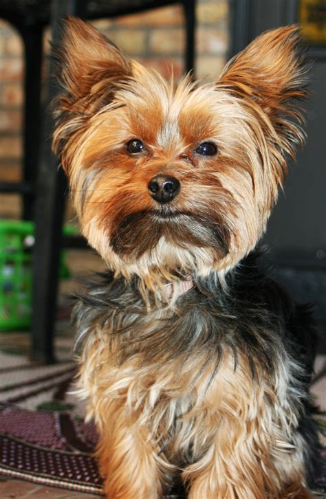 yorkie tips yorkie barking is your terrier barking breeds picture