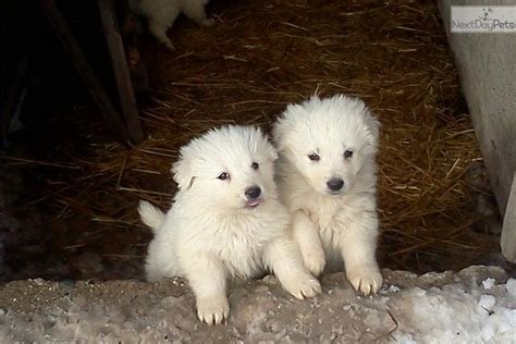 maremma sheepdog puppies for sale pin maremma sheepdogs on