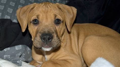 brown pitbull puppy 5 ways you can help pit bulls and 1 involves extremely puppy photos mnn