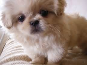 pekingese small dog breed breeds of small dogs best